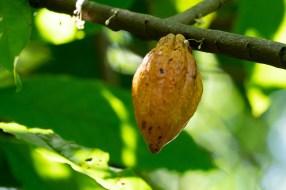 63 - Theobroma cacao