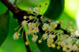 70 - Garcinia macrophylla