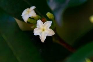 73 - Mascarenhasia arborescens