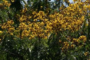 78 - Peltophorum dubium