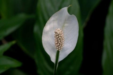 09 - Spathiphyllum wallisii
