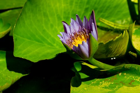 54 - Nymphaea capensis