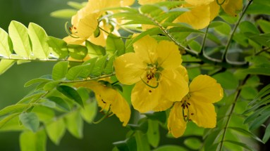 58 Cassia leptophylla