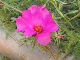 Portulaca grandiflora - Onze horas