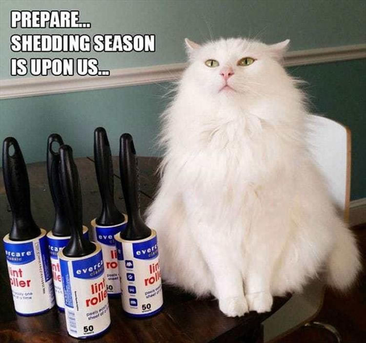 Prepare ... Shedding season is upon us ... (cat with lint rollers)