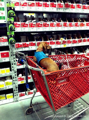 ammo the dachshund at lowes
