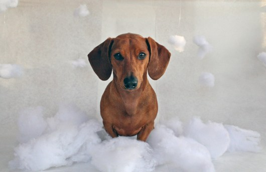 ammo the dachshunds 12 days of christmas
