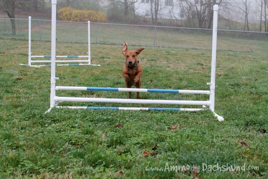 ammo the dachshund diy dog agility jumps