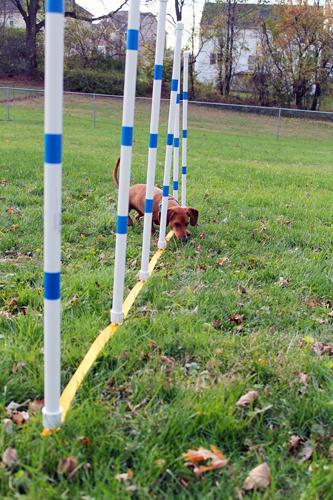 DIY Dog Agility Weave Poles // Ammo the Dachshund