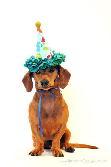 Birthday Week: Ammo turns 5 // Reader Survey // Ammo the Dachshund
