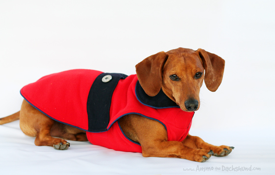Trendy Coats to Keep your Dachshund Warm // Noodle & Friends // Ammo the Dachshund