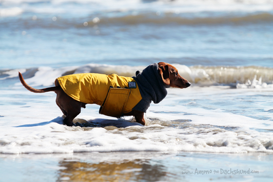 Road Trip with Ammo - Dog Friendly Beaches in Isle of Palms, South Carolina
