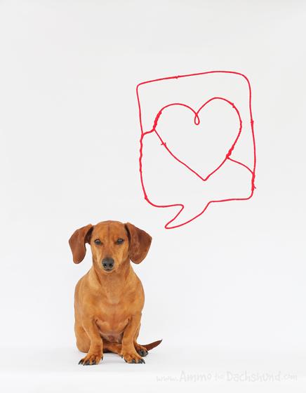 Happy Valentine's Day // Ammo the Dachshund
