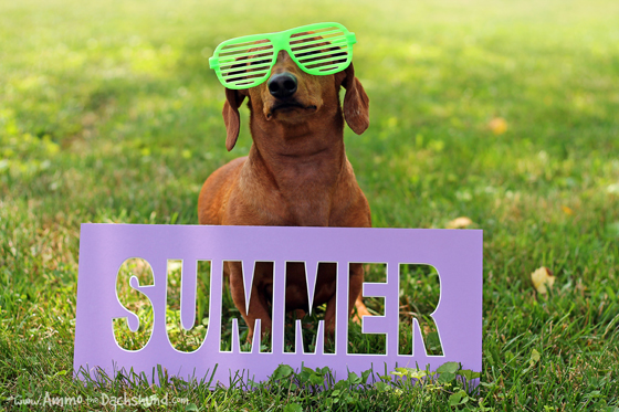 Officially Summer // Ammo the Dachshund