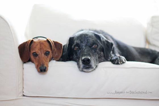 Dachshund Snuggles with Best Friend // Ammo the Dachshund