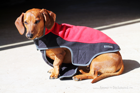 My Canine Kids Harness & Fleece Jacket Review & Giveaway // Ammo the Dachshund