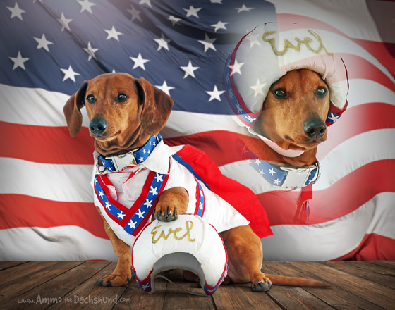 Evel Knievel // Ammo the Dachshundu0027s Halloween Costume & 10 Awesome DIY Halloween Costumes for Dogs | Ammo the Dachshund