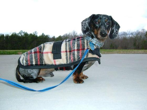 Foggy Mountain Dachshund Coat // Ammo the Dachshund