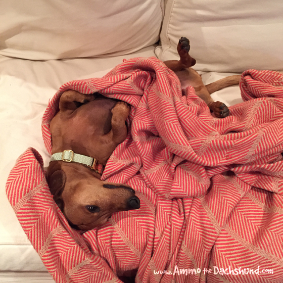 Oh the Places You Sleep // Ammo the Dachshund - Dog - Nap