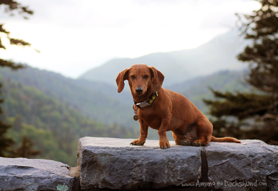 The Great Smoky Mountains // Dog Selfie // Ammo the Dachshund