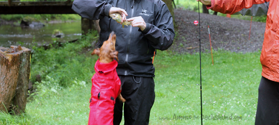 Tent Camping in the Rain with Ammo the Dachshund