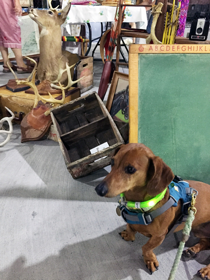 Labor Day Weekend Fun with Ammo the Dachshund