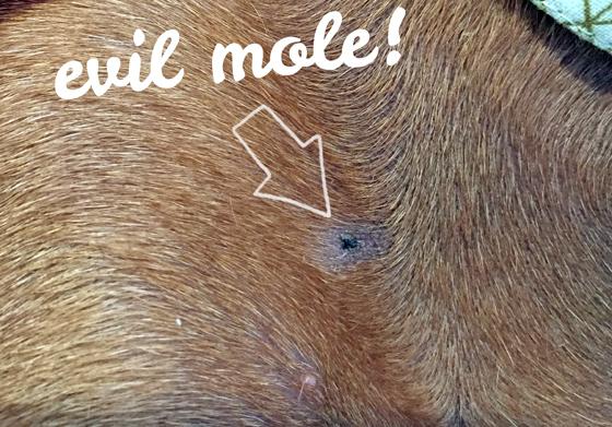 dog skin cancer photos