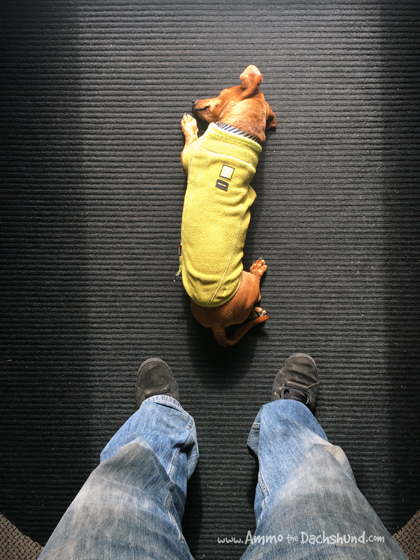 Oh The Places You Sleep: Vol. 12 with Ammo the Dachshund