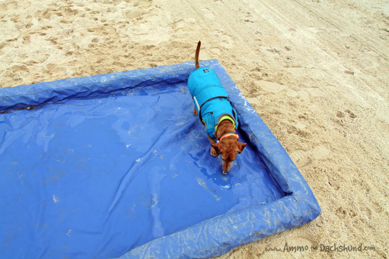 Water on the Beach // Ammo the Dachshund has fun on the Farm