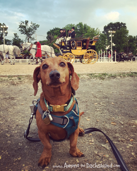A Dog's Day at the Devon Horse Show