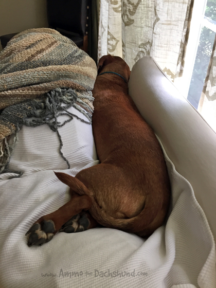 Oh The Places You Sleep: Vol. 16 with Ammo the Dachshund