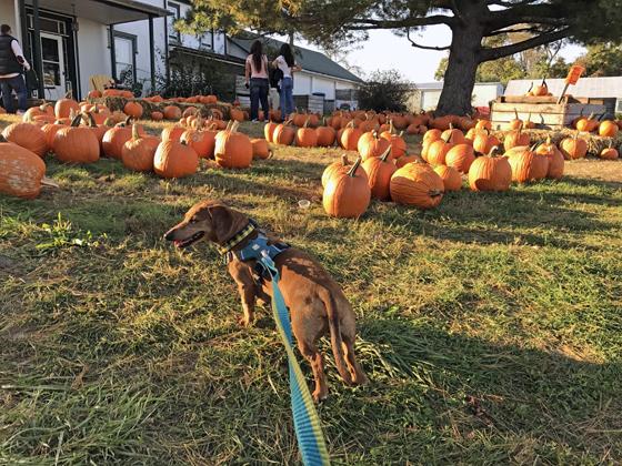 Adventures with Pumpkins