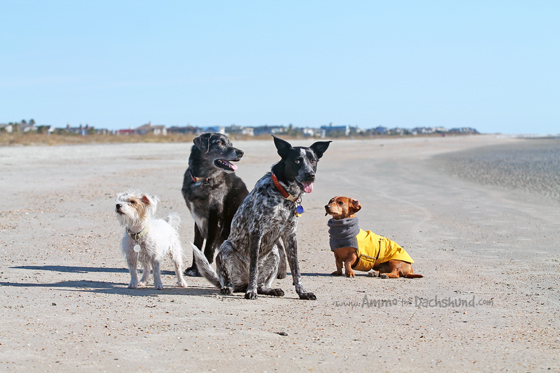 Dog Squad on the Beach