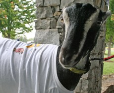 Kendra Peek/kendra.peek@amnews.com Bane the goat was part of the petting zoo brought to the Sidney the Kidney 5k Fun Run Walk on Saturday. Her owner, Caitlin Kreider of Boyle County, also had chickens and rabbits at the event.