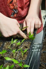 Emily Montgomery, a Boyle County High School student, uses her fingers to carefully transplant tiny green pepper seedlings into individual trays.