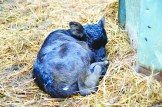 A calf curls into a ball to go to sleep.
