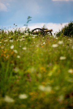Ben Kleppinger/ben.kleppinger@amnews.com A field of native plants and flowers grows up around a cannon.