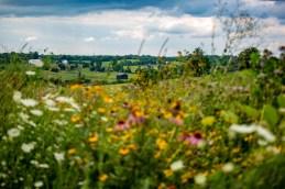 Ben Kleppinger/ben.kleppinger@amnews.com A farm is seen in the distance through a field of wildflowers.