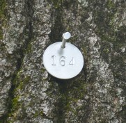 Tag No. 164 is on a red oak that's 35 inches in diameter. Arborist Daniel Leonard said the tree is in fair conditon, and may have been hit by lightening in the past. (Photo by Robin Hart)