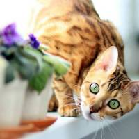 Il gatto Bengal o Bengala