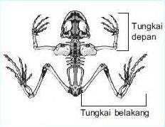 Struktur Tubuh dan Klasifikasi Amfibi Hewan Dua Alam