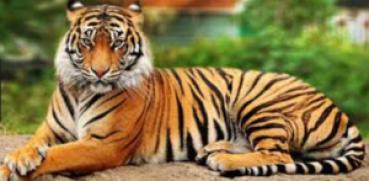 15 Fakta Unik tentang Harimau yang Wajib Anda Ketahui