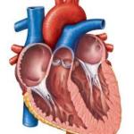 Struktur dan Fungsi Jantung serta Pembuluh Darah Manusia