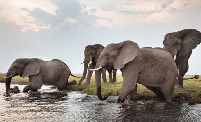 Fakta Unik dan Menarik Gajah yang Jarang Anda Ketahui