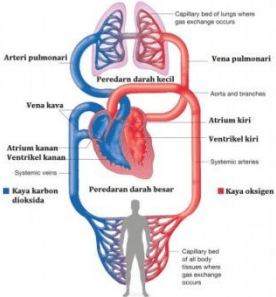 Contoh Latihan Soal IPA Biologi Sistem Peredaran Darah Manusia Contoh Latihan Soal IPA Biologi Sistem Peredaran Darah Manusia