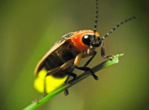 5 Fakta Menarik dan Unik Tentang Kunang-kunang untuk Anda Baca