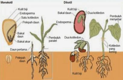 ciri Tumbuhan Dikotil dan Monokotil Beserta Contohnya Perbedaan Ciri-ciri Tumbuhan Dikotil dan Monokotil Beserta Contohnya