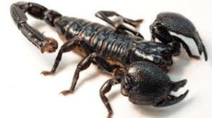 Fakta Unik dan Menarik Seputar Kalajengking Hewan Serangga Berbisa