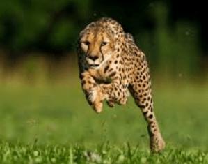 Fakta Unik dan Menarik Cheetah Hewan Pelari Tercepat di Dunia