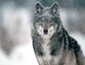 10 Fakta Unik dan Menarik tentang Serigala yang Wajib Anda Ketahui